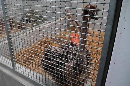 Der junger Straußenvogel ist mittlerweile in einem Käfig im Krefelder Tierheim. Foto: Alexander Forstreuter/dpa