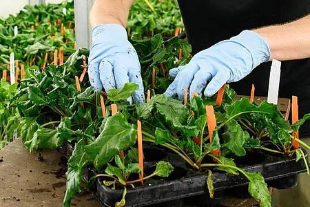 Pflanzentechnologen arbeiten mal im Labor, mal auf dem Feld, mal im Gewächshaus. Azubi Ole Peters stellt Pflanzen in der Kühlkammer zusammen. Foto: Swen Pförtner/dpa-tmn