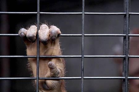 Eine Hand am Gitter: ein junger Orang-Utan in Gefangenschaft. Foto: Felix Meschede/NDR/dpa