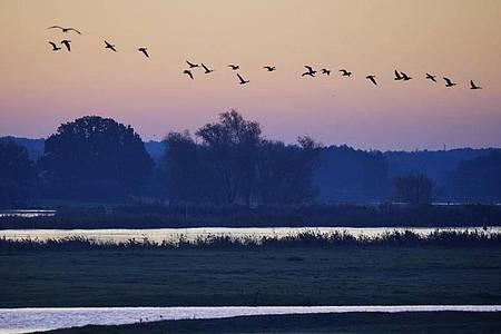 Zugvögel fliegen über den Oberbruch bei Letschin. Es wird kühler und feuchter. Foto: Kay Nietfeld/dpa