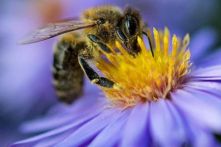 Immer seltener: Eine Biene sammelt am Pollen von einer Blüte. Foto: Monika Skolimowska/dpa-Zentralbild/dpa