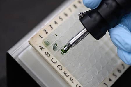 So sehen Blattproben einer Zuckerrübe aus:Akkurates Arbeiten ist für Pflanzentechnologen entscheidend. Foto: Swen Pförtner/dpa-tmn