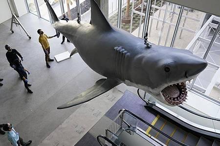 Eine Kunststoff-Nachbildung von «Bruce», dem Hai aus Steven Spielbergs «Der weiße Hai» von 1975, im Academy Museum of Motion Pictures. Foto: Chris Pizzello/Invision/AP/dpa