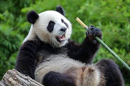 Der Große Panda Bao Mei frisst Bambus im belgischen Pairi Daiza Zoo. Foto: Zhang Cheng/XinHua/dpa