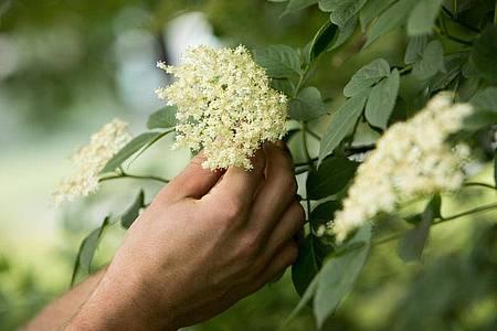 Holunderblüten lassen sich gut sammeln und zu Tee verarbeiten. Foto: Christin Klose/dpa-tmn