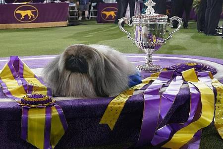Der Pekinese Wasabi bei der Preisverleihung nach der Westminster Kennel Club Hundeshow. Foto: Kathy Willens/AP/dpa