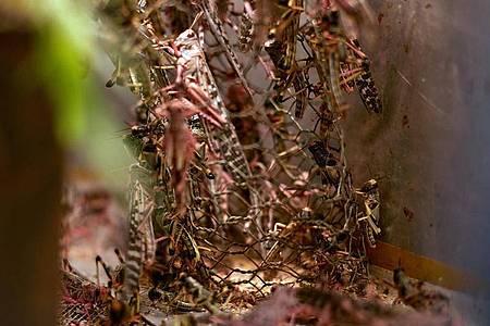 Wüstenheuschrecken in einer Aufzuchtsbox. Foto: Armstrong Too kikambala Road/dpa