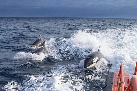 Das undatierte Foto, das vom spanischen Ministerium für Verkehr, Mobilität und städtische Agenda zur Verfügung gestellt wurde, zeigt drei Schwertwale, die neben einem Seenotrettungsboot schwimmen. Foto: Ministerium für Verkehr, Mobilität und städtische Agenda /dpa
