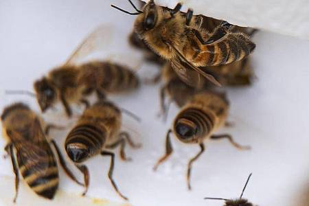 Bienenarbeiterinnen kommen aus ihrem Bienenstock. Foto: Sina Schuldt/dpa