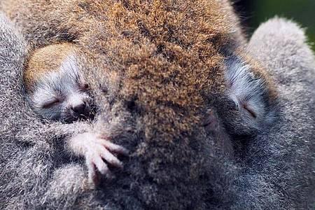 Kronenmaki-Zwillinge im Zoo Leipzig. Foto: -/Zoo Leipzig/dpa