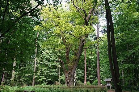 Hier ist die Liebe zuhause:die «Bräutigamseiche» im Dodauer Forst. Foto: Marcus Brandt/dpa