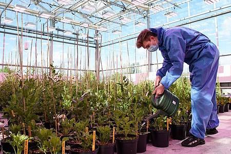 Im Gewächshaus kümmern sich Pflanzentechnologen um die Züchtungen. Der Auszubildende Ole Peters gießt Zuckerrüben. Foto: Swen Pförtner/dpa-tmn