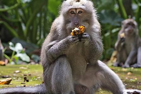 Makaken fressen Bananen während der Fütterungszeit im Sangeh Monkey Forest. Foto: Firdia Lisnawati/AP/dpa
