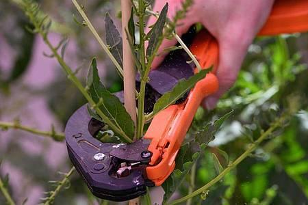 Wie werden Pflanzen möglichst widerstandsfähig? Das versuchen Pflanzentechnologen in ihrer täglichen Arbeit herauszufinden. Foto: Swen Pförtner/dpa-tmn