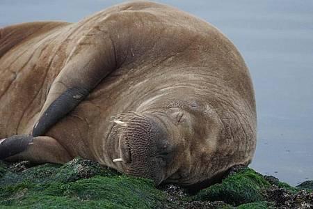 Auf der Nordsee-Insel Baltrum liegt ein Walross. Das Tier wurde auf einer breiten Buhne - einer Küstenschutzanlage - an der Westspitze der Insel gesichtet. Foto: Bärbel Nannen/Gemeinde- u. Kurverwaltung Baltrum/dpa