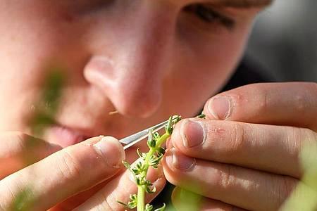 Biologiekenntnisse sind in seinem Job wichtig: Der angehende Pflanzentechnologe Ole Peters holt mit einer Pinzette die Pollen aus einer Zuckerrübenblüte. Foto: Swen Pförtner/dpa-tmn