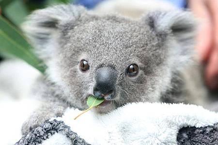 Ein Koala-Baby kaut an einem Eukalyptusblatt. Die Koalas sind in Gefahr: Die Zahl der australischen Beutelsäuger nimmt einer neuen Studie zufolge rapide ab. Foto: Roland Weihrauch/dpa