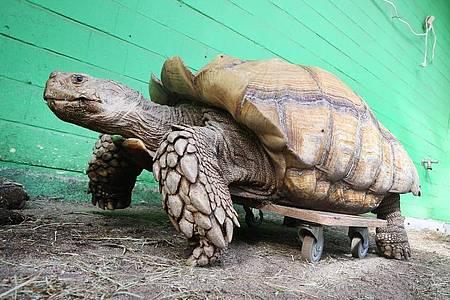Das rund 100 Kilogramm schwere Schildkrötenmännchen Helmuth bewegt sich auf seinem Rollbrett durch das Gehege im Gelsenkirchener Zoo. Foto: Roland Weihrauch/dpa