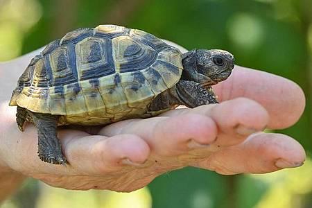 Eine noch junge Griechische Landschildkröte. Landschildkröten können über 100 Jahre alt werden. Foto: Patrick Pleul/dpa-Zentralbild/ZB