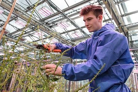 Mag die Mischung aus Natur und Technik in seiner Ausbildung: Ole Peters bindet Zuckerrüben an eine Rankhilfe. Foto: Swen Pförtner/dpa-tmn