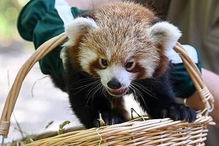 Es ist ein Junge. - Der kleine Rote Panda erkundet die Welt. Foto: Jens Kalaene/dpa-Zentralbild/ZB