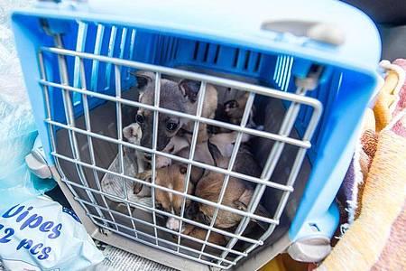 Offenbar boomt der illegale Handel besonders mit Welpen und Katzen in der Corona-Krise: Nach Angaben des Deutschen Tierschutzbundes nahm er im vergangenen Jahr deutlich zu. Foto: Armin Weigel/dpa
