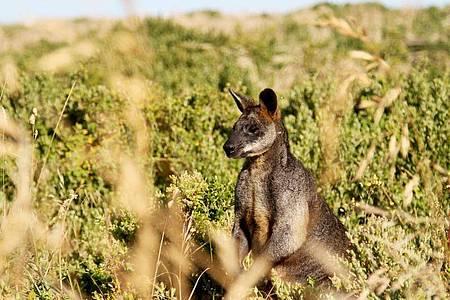 Seit mehr als zehn Jahren lebt ein Känguru auf einem Bauernhof in Waghäusel. Foto: Bernhard Krieger/dpa-tmn/Symbolbild