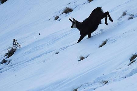 Bergführer müssen sich ebenso trittsicher im Gebirge bewegen wie ein Gams. Foto: Angelika Warmuth/dpa-tmn