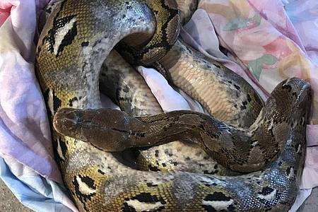 Diese 1,80 m lange Python wurde am 30. August auf einem Feldweg unweit des Ortes Conington gefunden. Foto: -/RSPCA/PA Media/dpa