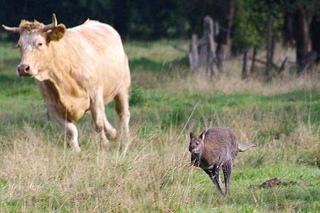 Ein entlaufenes Känguru springt vor einer Kuh über eine Wiese. Foto: Günther Richter/dpa