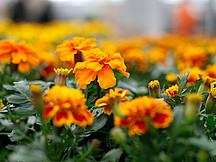 Orangene Sommerblumen