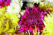 Chrysanthemen in verschiedenen Farben
