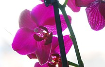 Lila Schmetterlings-Orchideenblüte