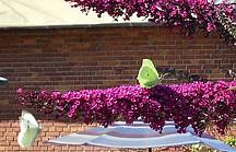 Gelber Schmetterling auf lilafarbenem Schmetterlingsfliederast