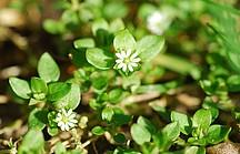 Bodendeckende Vogelmiere mit kleinen weißen Blüten