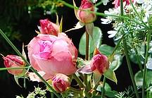Rosenblütenknospen in rosa