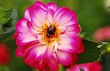 Pink blühende Sommerblume