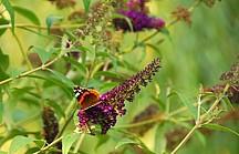 Schmetterling sitzt auf lilaner Blüte vor grünem Hintergrund