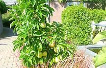 Stammförmiger Apfelbaum an Hofeinfahrt