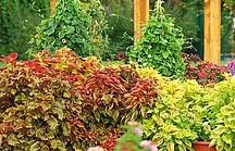 Rot, grüne Buntnesselbüsche im Garten
