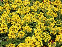 Gelbe Pantoffelblume