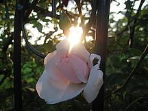 Rosa Roten
