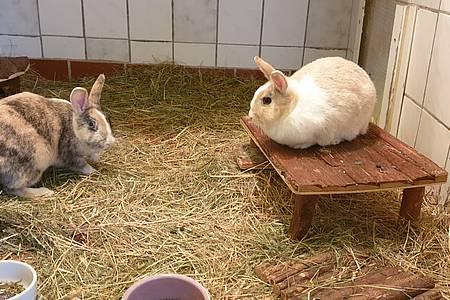 Zwei Zwergkaninchen im Stall