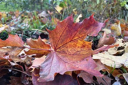 Blatt herbstlich gefärbt