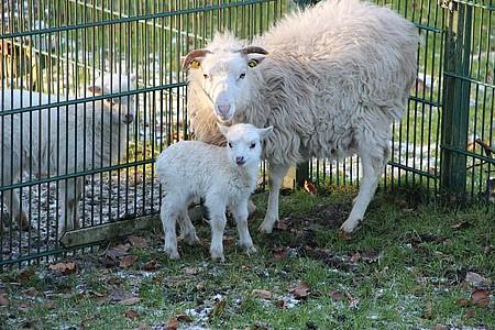 Schafe im Gehege