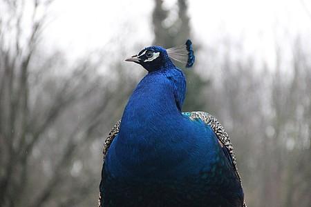 Pfau Tierpark Herford